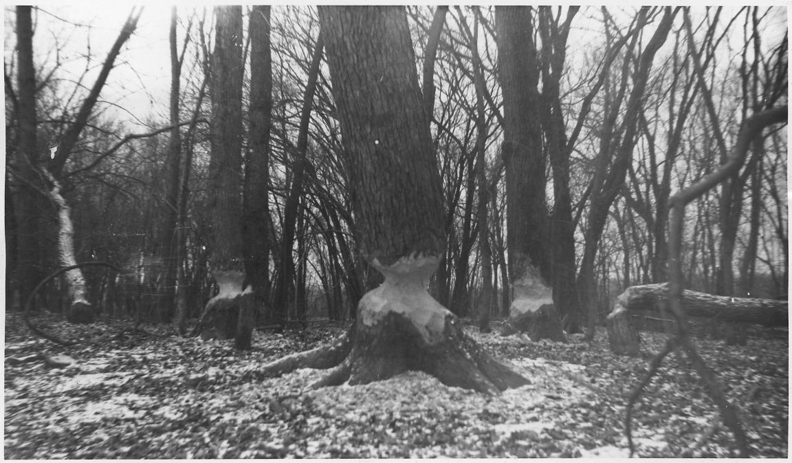 Beaver_Damage_to_large_trees._Guttenberg,_Iowa_-_NARA_-_283861