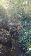 Beavers have built a sequence of dams along Heron Creek. The ponds spill over the bank and onto the path.