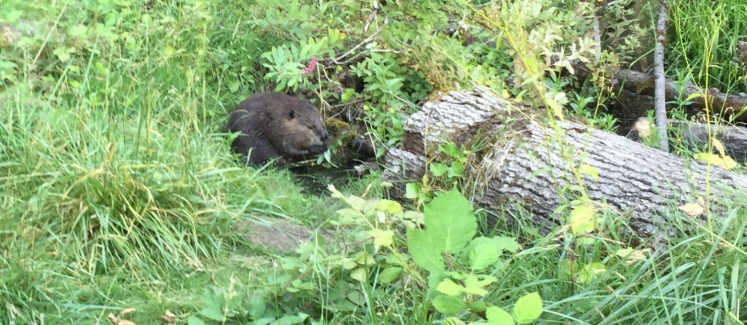 MSY beaver