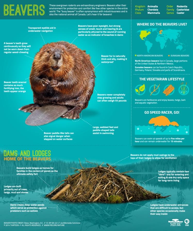 Beavers_Infographic