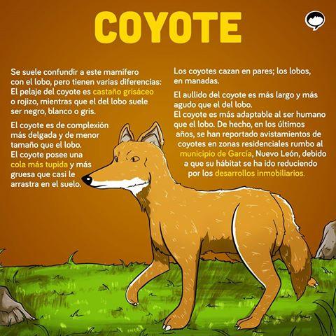 coyote_espanol