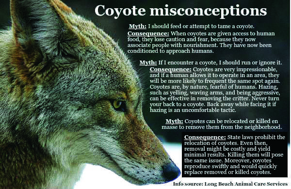 Coyote_misconceptions